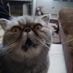 猫/#猫#ねこ#ぶさかわ#エキゾチック... 毎日、暑いねー
