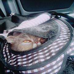 猫/猫#ねこ#ぶさかわ#エキゾチックシ... いないいないばあ😸(1枚目)