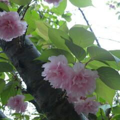 春のフォト投稿キャンペーン/八重桜 関山(カンザン) 八重桜