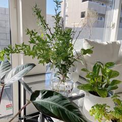 みどりのある暮らし/グリーンのある暮らし/海外インテリア/モノトーンインテリア/北欧インテリア 朝日を浴びる植物たち。植物をここに移動さ…