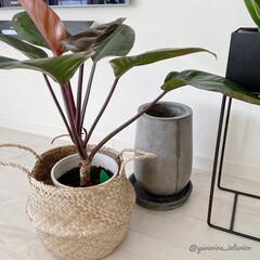 モノトーンインテリア/北欧インテリア/海外インテリア/セメント鉢/観葉植物/みどりのある暮らし シーグラスバスケットを鉢カバー代わりにし…
