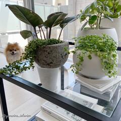 みどりのある暮らし/グリーンのある暮らし/観葉植物/犬のいる暮らし/わんこと暮らす/モノトーンインテリア/... 欲しかった月面鉢にはグリーンネックレスを…