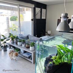 リビング棚/みどりのある暮らし/水槽のある暮らし/グリーンのある暮らし/観葉植物 リビングにDIYした棚。棚上に並べたグリ…(1枚目)