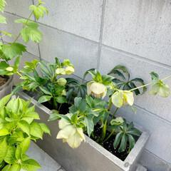 花/花のある暮らし/庭/庭のある暮らし/クリスマスローズ/セメントプランター/... うつむいて咲く姿が美しいクリスマスローズ…