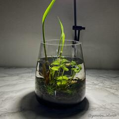 水槽/ボトルアクアリウム/ビオトープ/IKEA/イケア/花瓶/... IKEA花瓶を使用したビオトープ。夜にラ…