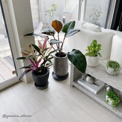 モノトーンインテリア/海外インテリア/北欧インテリア/セメント鉢/観葉植物/みどりのある暮らし フィロデンドロンロジョコンゴをセメント鉢…