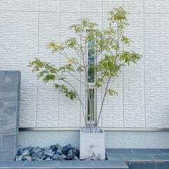 シンボルツリー/植栽/エクステリア/外構/モノトーンインテリア 玄関横に置いてあるシマトネリコです。我が…