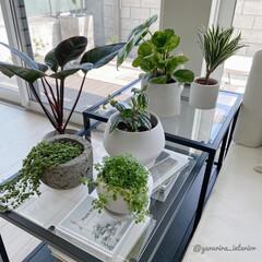 みどりのある暮らし/グリーンのある暮らし/観葉植物/モノトーンインテリア/北欧インテリア 新しい観葉植物を追加購入しました。グリー…