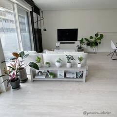 みどりのある暮らし/グリーンのある暮らし/観葉植物/コンクリート鉢/セメント鉢/モノトーンインテリア/... セメント鉢に植え替えて、リビング全体を撮…