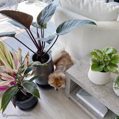 みどりのある暮らし/観葉植物/グリーンのある暮らし/愛犬との暮らし/わんこと暮らす/モノトーンインテリア/... こちらはフィロデンドロンロジョコンゴとコ…