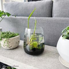 ビオトープ/ボトルアクアリウム/アクアリウム/IKEA/イケア/花瓶/... IKEAのフラワーベースを使って、小さな…
