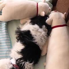 シニア犬/キャバリア/おやすみ/わんこ同好会/暮らし/おやすみショット おはようございます! ぬいぐるみとともに…(1枚目)
