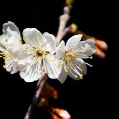 小さい春 庭の鉢植えで咲いたさくらんぼの花🌸