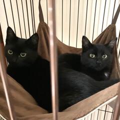 黒猫兄弟/くろねこ/猫/にゃんこ同好会/LIMIAペット同好会/ねこ好き/... はじめまちて💕 黒猫兄弟のそらちゃんとて…