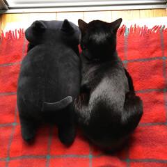 ほっこり/うちの子ベストショット/黒猫/ねこ/猫/ペット/... 後ろ姿の2ショットにほっこり〜( *´ω…