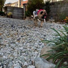 犬がいる生活/わんこ部/お散歩/犬と暮らす/犬派/年賀状アイデア/... -続編- 獅子舞着たまんまちょろちょろ庭…