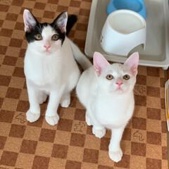 白猫/はちわれ/兄弟猫/フォロー大歓迎/LIMIAペット同好会/にゃんこ同好会/... 我が家に来てから3カ月✨ チロルとバニラ…