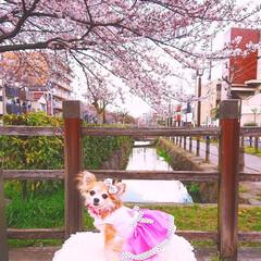 おでかけワンショット 🌸*.桜色満開*.🌸