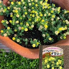 セダム/トリフォリウム/リトルチュチュ/ラッキークローバー/スーパーベルダブルピンクイップル/サフィニアアートももいろハート/... 今からの季節のお花。 ついつい黄色を選び…(3枚目)
