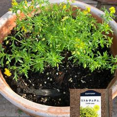 セダム/トリフォリウム/リトルチュチュ/ラッキークローバー/スーパーベルダブルピンクイップル/サフィニアアートももいろハート/... 今からの季節のお花。 ついつい黄色を選び…(4枚目)