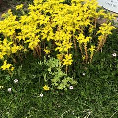 セダム/トリフォリウム/リトルチュチュ/ラッキークローバー/スーパーベルダブルピンクイップル/サフィニアアートももいろハート/... 今からの季節のお花。 ついつい黄色を選び…(7枚目)
