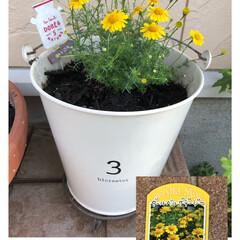 セダム/トリフォリウム/リトルチュチュ/ラッキークローバー/スーパーベルダブルピンクイップル/サフィニアアートももいろハート/... 今からの季節のお花。 ついつい黄色を選び…