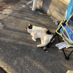 ねこ/どこから来るの?/可愛いけど苦手/ミケ猫 飼ってませんが、、、 洗濯干してたり、外…(3枚目)