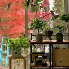観葉植物のある暮らし/モミジ/もみじ/カエデ/紅葉/庭のある暮らし/... 庭の紅葉がピーク🍁  眺める楽しみは短く…
