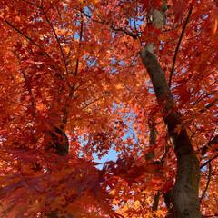 秋の庭/カエデ/ガーデニング/ガーデン/庭のある暮らし/紅葉 庭の紅葉。 今はもう落葉です。 今年もあ…