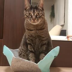 ねこ好き/猫のいる暮らし/リミアな暮らし/雑貨/住まい/暮らし モモ太の方舟⁉️(1枚目)