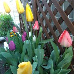 庭の花/春休み/コロナに負けない/雨上がり🌈/チューリップ/住まい/... 雨上がり🌈の朝 花壇を見るとチューリップ…