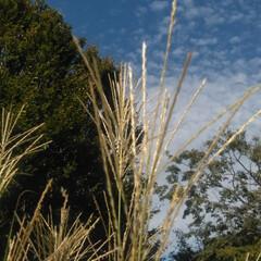柿の木/葡萄棚/風景/うろこ雲/秋/おでかけ/... 今朝の風景です 朝の光りがめっきりやわら…