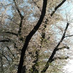 歩いて花見/桜🌸/お出かけ/リミアな生活/お散歩 お花見行きたいなぁ~何て思う今日この頃で…(5枚目)