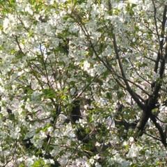 歩いて花見/桜🌸/お出かけ/リミアな生活/お散歩 お花見行きたいなぁ~何て思う今日この頃で…(2枚目)