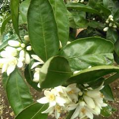 風景 朝の通勤時畑に柑橘系の花が咲いていました…(1枚目)
