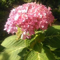 道端の花/秋/朱色/おでかけ/暮らし 沢山の花🌸とあり二匹、季節外れの紫陽花を…
