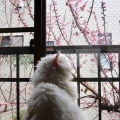 花/杏の花/うちの子ベストショット/LIMIAペット同好会/ペット/ペット仲間募集/... 杏の花が咲いたにゃ🐱🌸