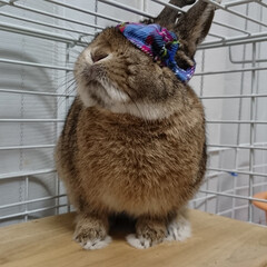 ウサギ/パンツ/うちの子ベストショット パンツかぶって前が見えない… でもそれパ…