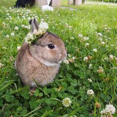 ウサギ/うさんぽ/うちの子自慢 野ウサギのロロです。 今日は花冠をつけて…