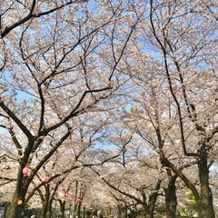 春/桜/小さい春/さくら/サクラ/桜スポット/... 浮間公園の桜並木♪ 桜スポットで、子供か…