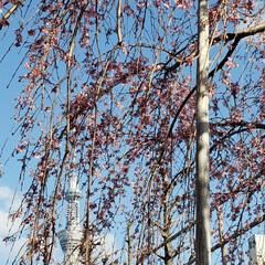 小さい春 スカイツリーとしだれ桜