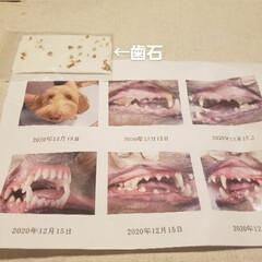 マルックス同好会/ミックス犬同好会/ミックス犬/マルックス/歯石取り 昨日は、我が家の愛犬マックスの初の歯石取…(1枚目)