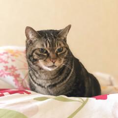 猫/猫派の旦那と犬派のわたし/令和元年フォト投稿キャンペーン/フォロー大歓迎/LIMIAペット同好会/にゃんこ同好会/... ダーリンと一緒に寝ようと思ったのに。。。…