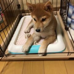 柴犬/ペット同好会/わんこ同好会  〜懐かしのパピー期あおくん🐕〜   ホ…