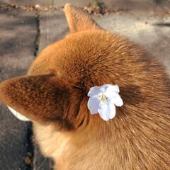 桜🌸/お写んぽ/猫派の旦那と犬派のわたし/LIMIAペット同好会/LIMIAおでかけ部/フォロー大歓迎/... ぼく女柴(じょシーバ)じゃないのに。。。…
