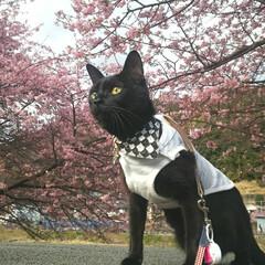 おでかけにゃんこ/黒猫/黒猫ポポたん/はじめてフォト投稿/ペット/猫/... 河津桜を見に行ってきましたにゃん😸