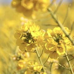 風景/小さい春 愛知県田原市 菜の花フェスティバル  #…
