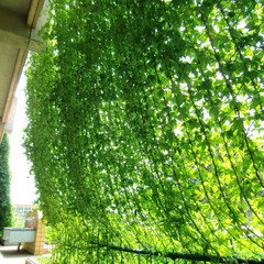植物/グリーン/グリーンカーテン/ツル植物/シェード/プランター/... 日本の夏の厳しい暑さ対策として、グリーン…