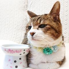 キジ白/シニア猫/LIMIAペット同好会/フォロー大歓迎/ペット/ペット仲間募集/... ぼく こたちゃん😺 もうすぐ17歳のおじ…