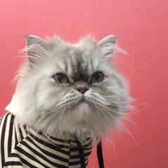 うちの子ベストショット/猫のいる暮らし/自慢のペット/フォロー大歓迎/LIMIAファンクラブ/LIMIAペット同好会/... ポコたんはピンクが似合う♡